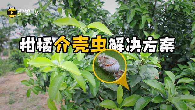 柑橘介壳虫的解决方案