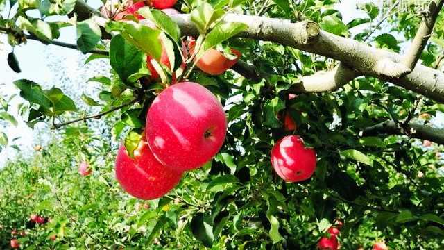 5-6月应该如何给果树追肥?