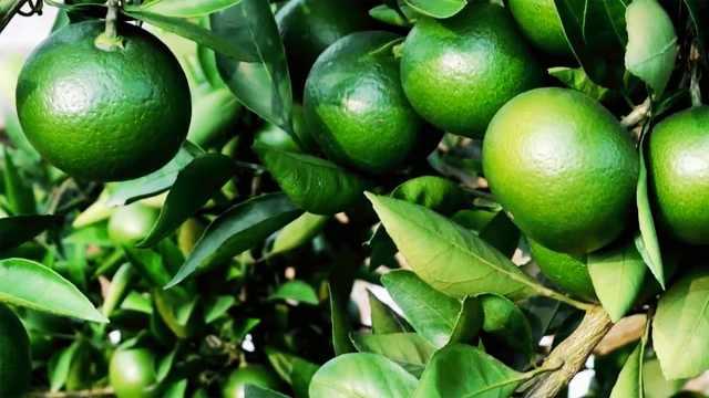 这样做可预防夏季柑橘大量落果