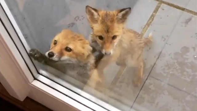 小狐狸:有吃的吗有吃的吗?