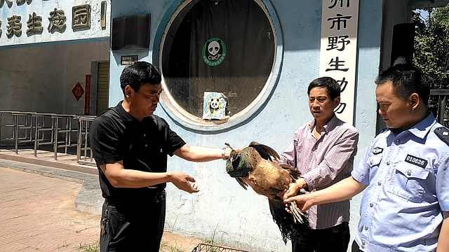 蓝孔雀飞入家属院被救助,来源成谜