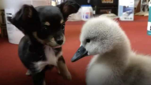 萌化了!吉娃娃和小天鹅成为好朋友