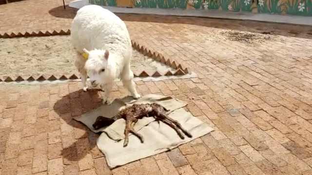 羊驼妈妈难产,饲养员徒手拉出羊宝