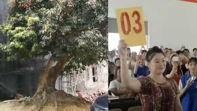 百年荔枝树结果,她花20万拍采摘权