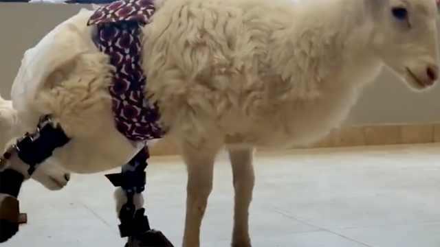 """他的""""假肢工厂""""专为动物制作假肢"""