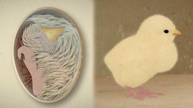 趣味科普:小鸡破壳前怎样呼吸?