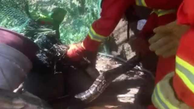 蟒蛇偷鸡不成反被困,数天等来救兵