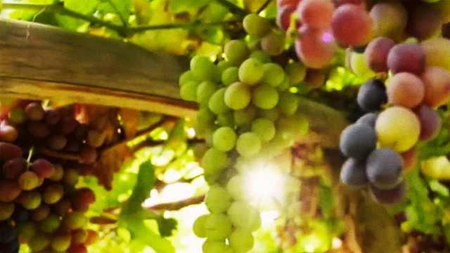 葡萄怎么施肥高产?