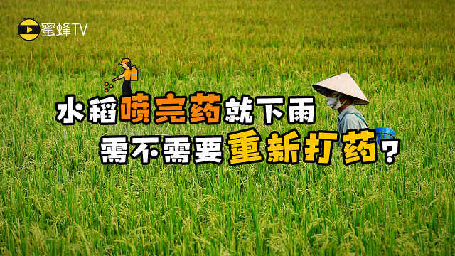 蜜蜂TV:喷完农药就下雨怎么办?