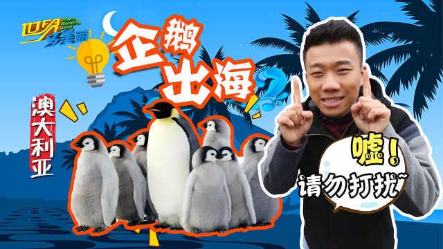 只有南极有企鹅?澳洲企鹅满地跑!