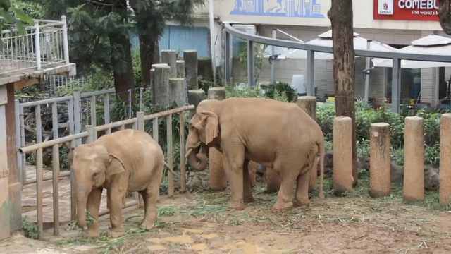 动物园引进公象,5母象迎