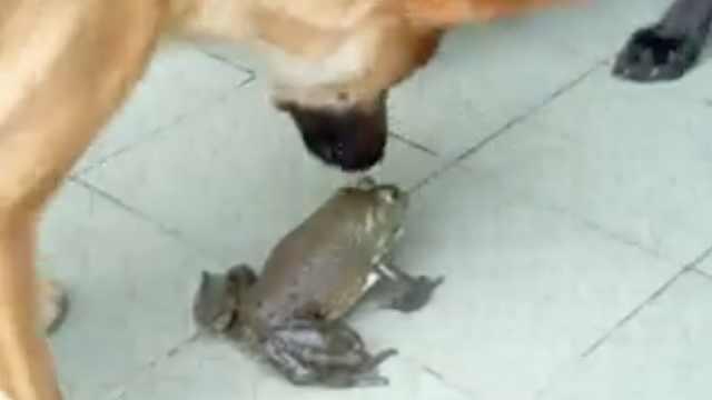 牛蛙喵喵叫,仨狗子懵了:这不是蛙吗