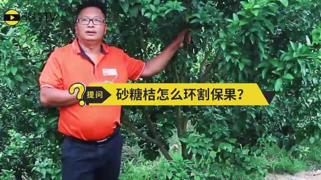 杨粤老师演示砂糖桔环割技术要点