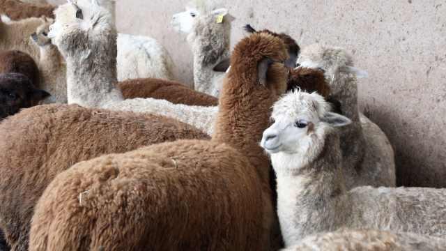 861只澳洲羊驼漂洋过海,助农户增收