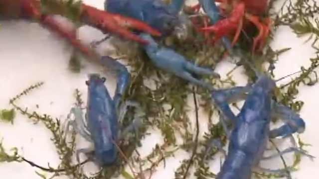 上海现蓝色小龙虾!供观赏30元一只