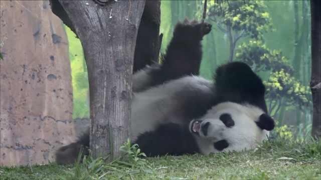 萌!探访印尼熊猫馆:每天11万游客
