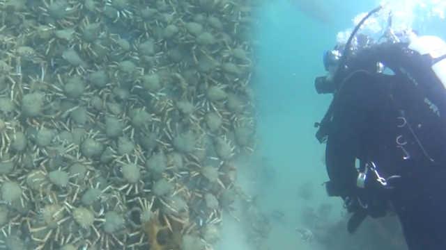 密集恐惧慎入!大量蜘蛛蟹海底迁徙