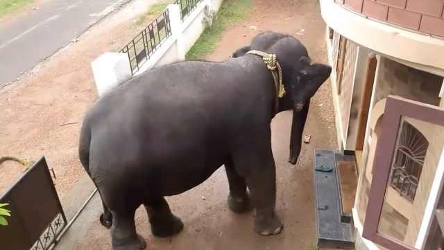 大象常去居民家做客,还被热情招待