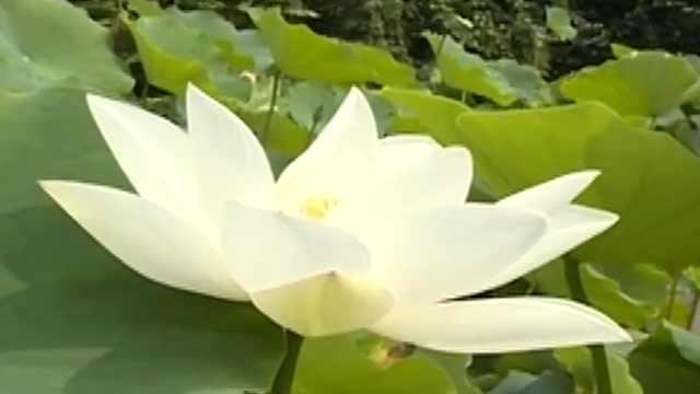 赏荷正当时 就到新都桂湖公园
