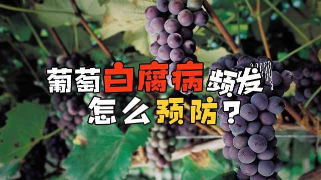 夏秋季谨防葡萄白腐病,重则绝收!