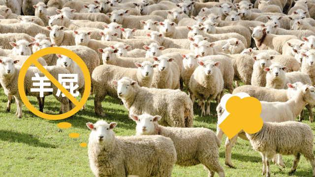 直播:环保减排,新西兰培育少屁羊