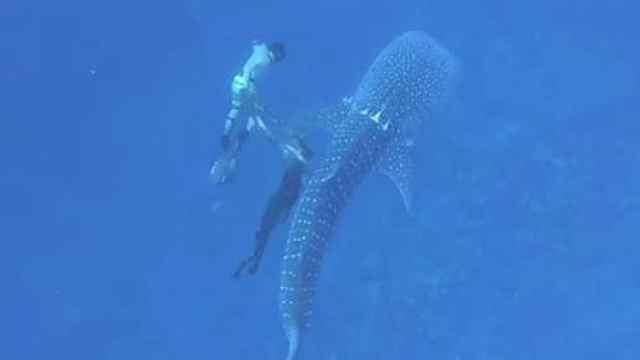 鲨鱼被绳缠绕,5名潜水员用刀解救