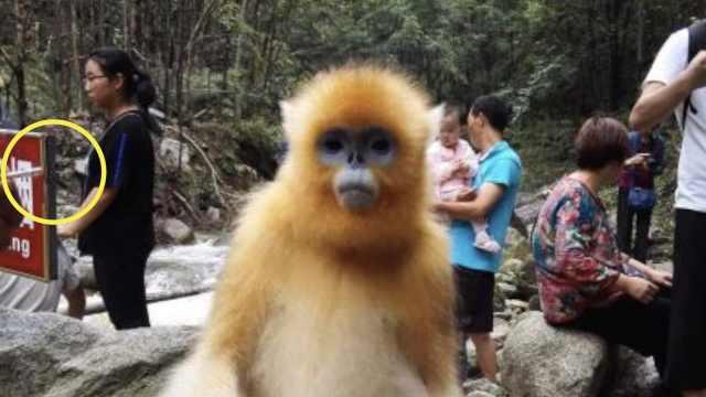 游客给金丝猴递烟,猴哥没接