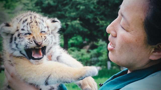 她养东北虎16年,百兽之王如同大猫