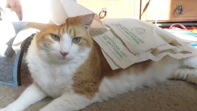 真·高冷猫!任主人折腾也纹丝不动