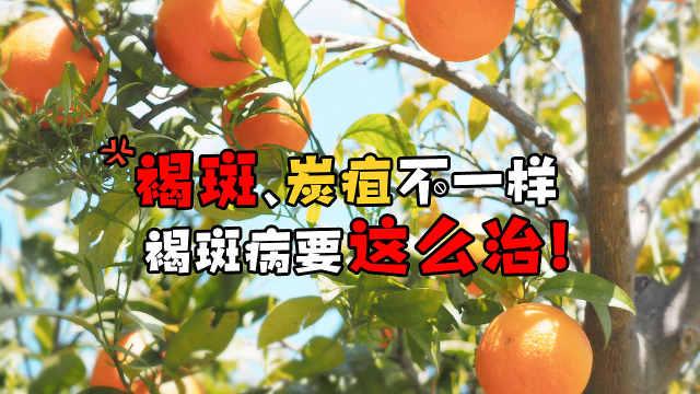 柑橘褐斑病爆发,果农要小心了!