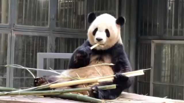 台生来大陆交流,当大熊猫铲屎官