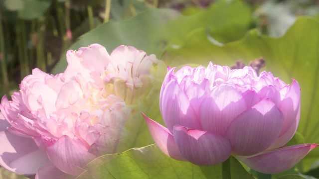 花中再开花?重台莲盛放惊艳满荷塘