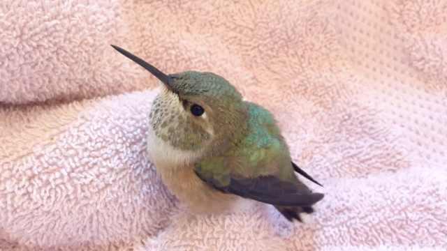 小鸟路边被救起,眨巴眼讨糖水喝