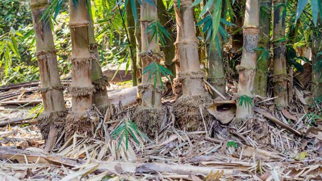 为什么要在竹子根上撒芝麻?