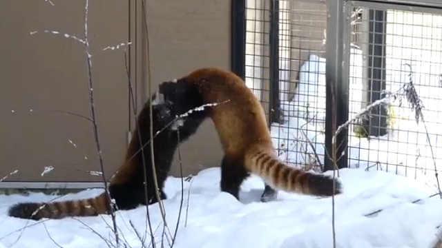 雪地里的两只小熊猫打架