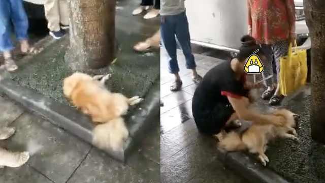 母狗被撞主人跺脚哭,称奶狗等喂奶