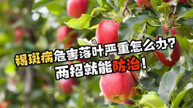 褐斑病来袭,苹果落叶严重怎么办?