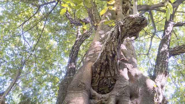 百年核桃树长出黄桷树,相缠数十年