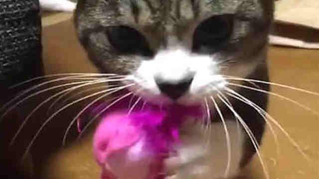 一只喜欢玩逗猫棒的猫咪