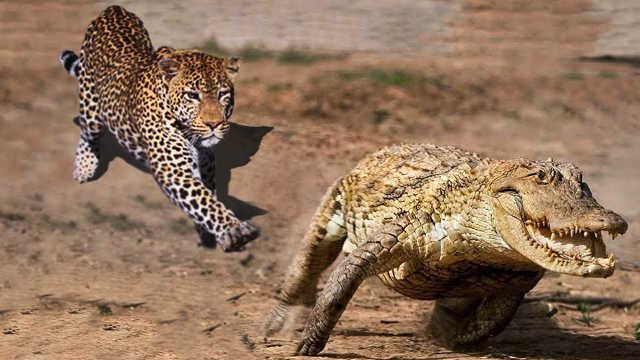 顶级猎手!5个动物狩猎的瞬间!