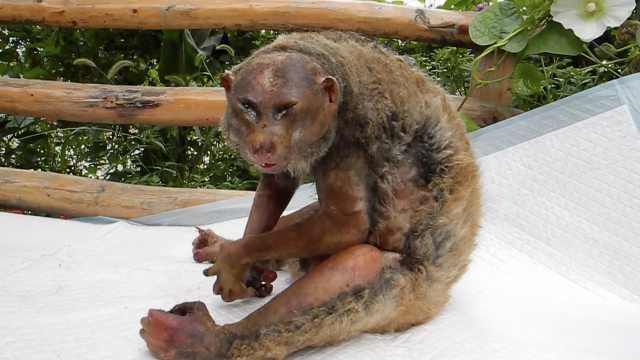 蜂猴被高压电电伤,疑被人违法饲养