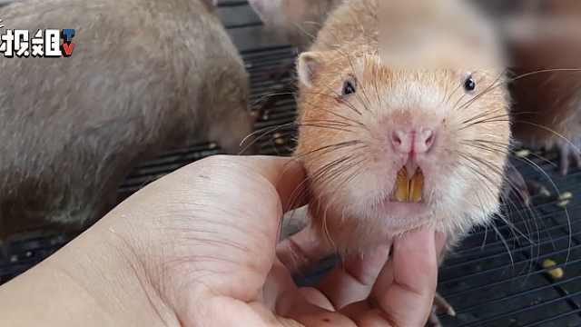 竹鼠除了红烧还能干嘛?