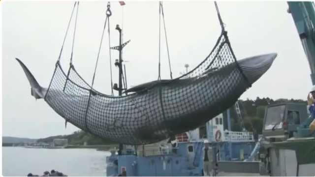 日本推动商业化捕鲸,意见两极分化