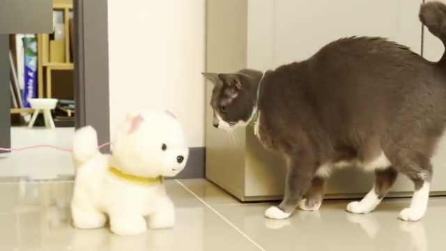 猫咪如何面对玩具狗?上去就是干