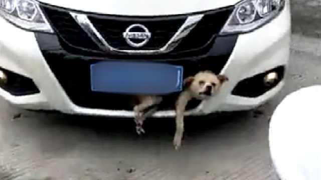 狗狗被撞卡保险杠,她开4公里都不知