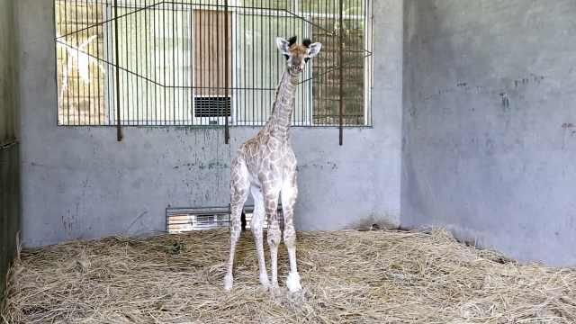 小长颈鹿小脚发育异常,6壮汉治病