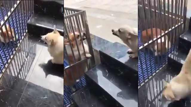 两只狗隔着铁笼大吵,一见面就怂了