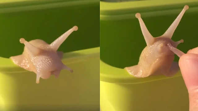 萌化!蜗牛宝宝吃柚子,嘴巴好小呀