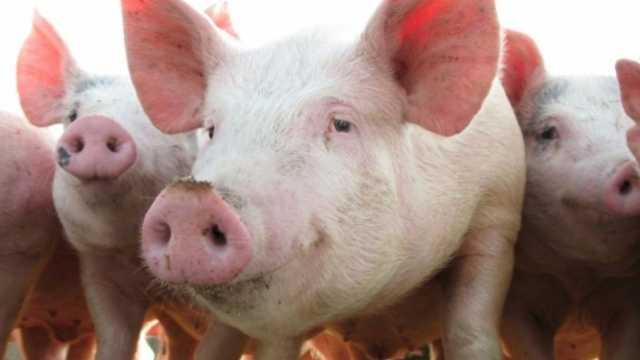 猪为什么4000万年都不灭绝?