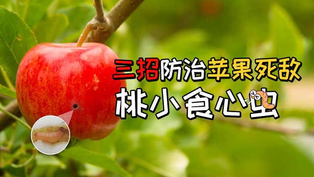苹果死敌桃小食心虫三步防治法